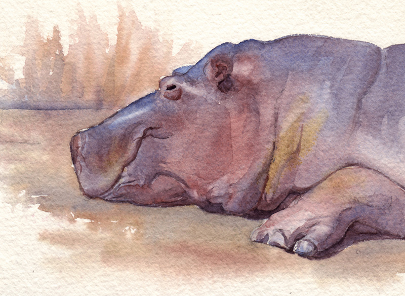 Hippopotamus, watercolor