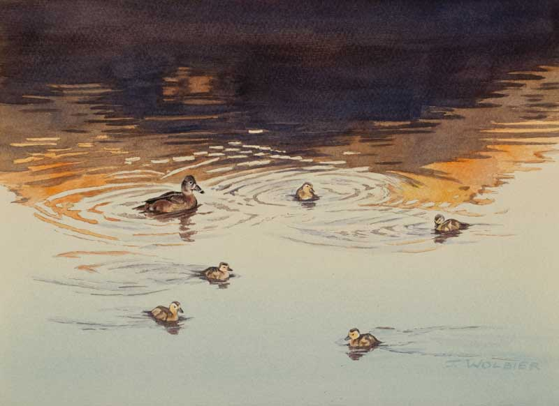 Ring-Necked Ducks, pen and ink with watercolor
